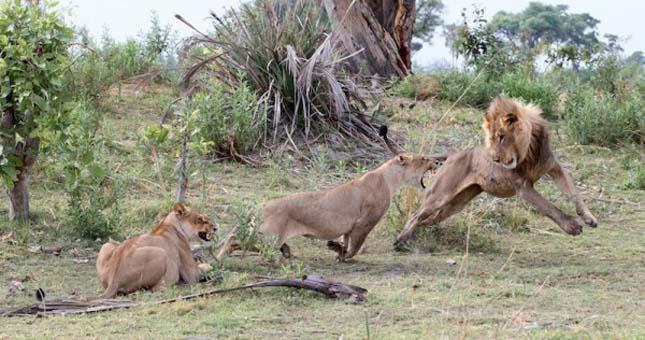 Páviánokra támadó oroszlánok