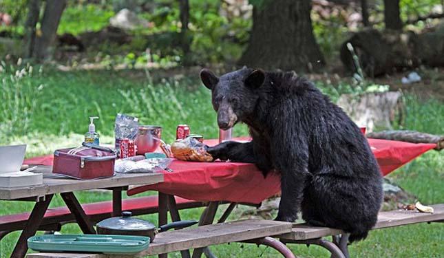 Piknikező medve