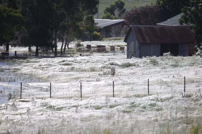 Pók invázió Ausztráliában