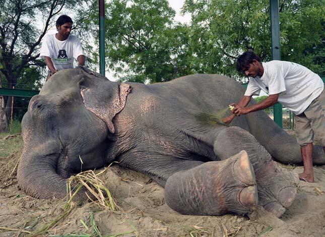 Raju, elefánt