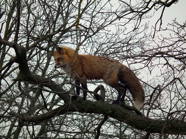 Fára mászó róka