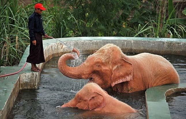 Rózsaszín elefántok