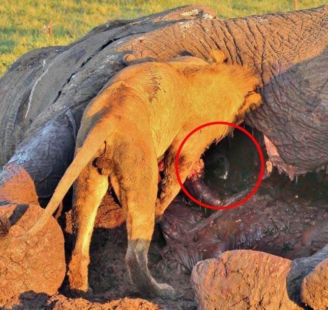 Sakál egy elefánttetemben