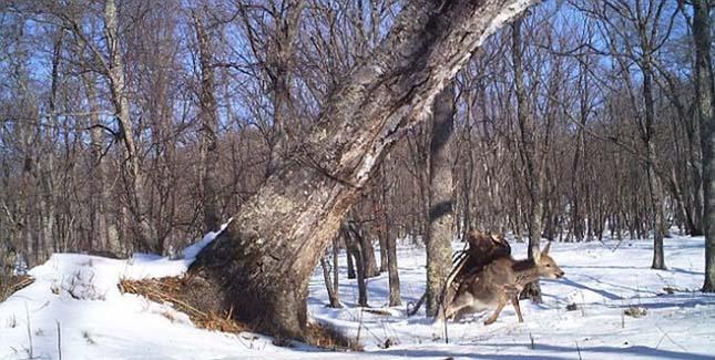 Szarvasra vadászott egy szirti sas