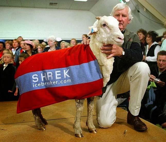 Shrek, a bárány