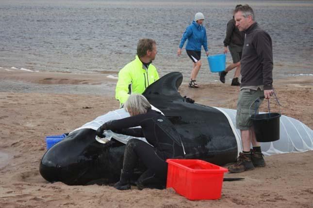 Skóciai delfinpusztulás