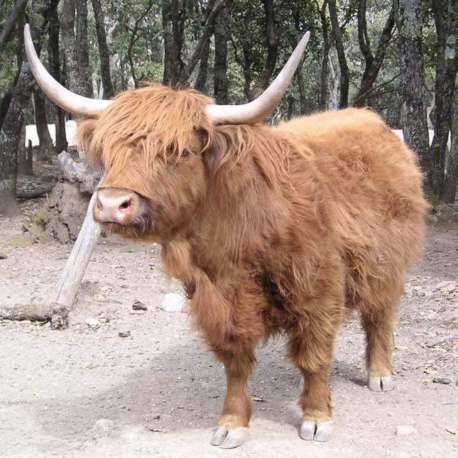 Skót felföldi marha