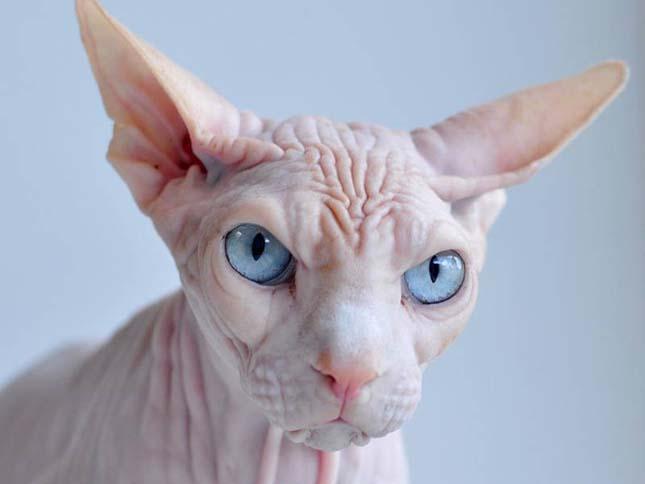 Szfinx macska