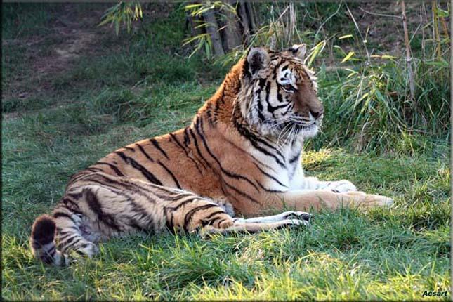 Kihalás szélén áll a szibériai tigris