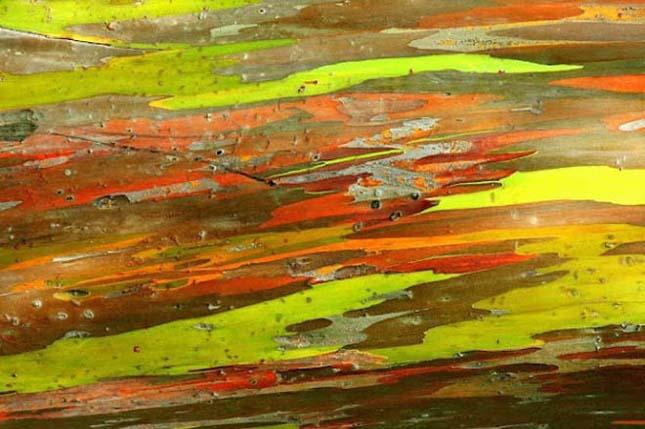 Szivárvány eukaliptusz