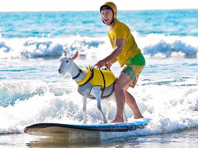Kecskeszakáll, a szörfös kecske