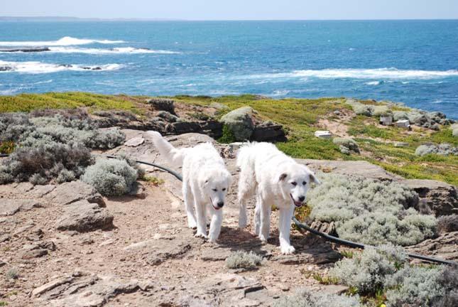 Kutyák mentik meg a törpepingvineket Ausztráliában