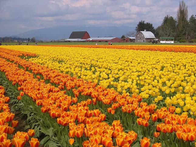 Skagit Valley Tulipán Fesztivál