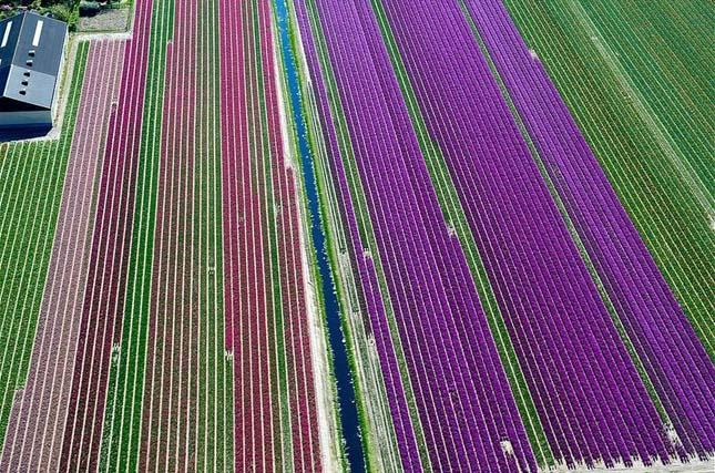 Tulipánmezők Hollandiában