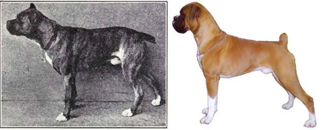 Túltenyésztett kutyák