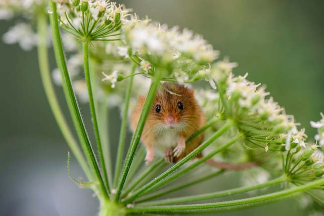 Vadon élő egerek
