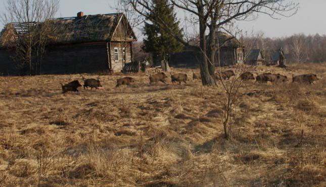 Visszatértek azállatok Csernobilbe