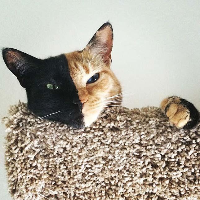 Venus macska
