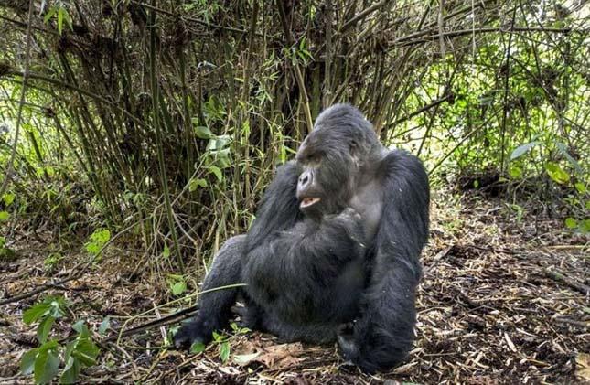 Verekedő részeg gorilla