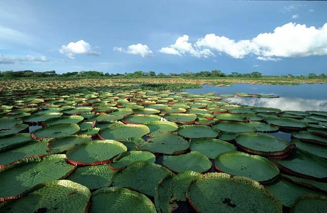 Victoria Amazonica, a világ legnagyobb tündérrózsája