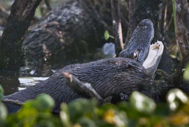 Vidra aligátorra támad