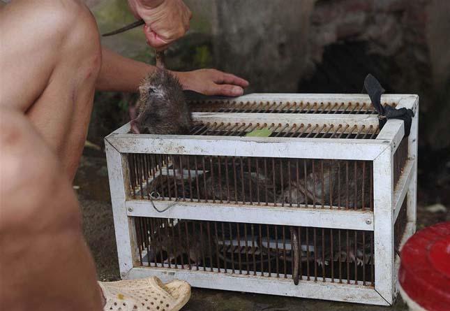 Patkánysült Vietnámban