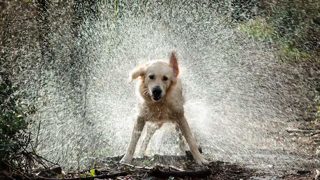 Ázott kutya