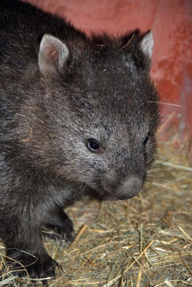 Vombat bébi született a Fővárosi Állatkertben