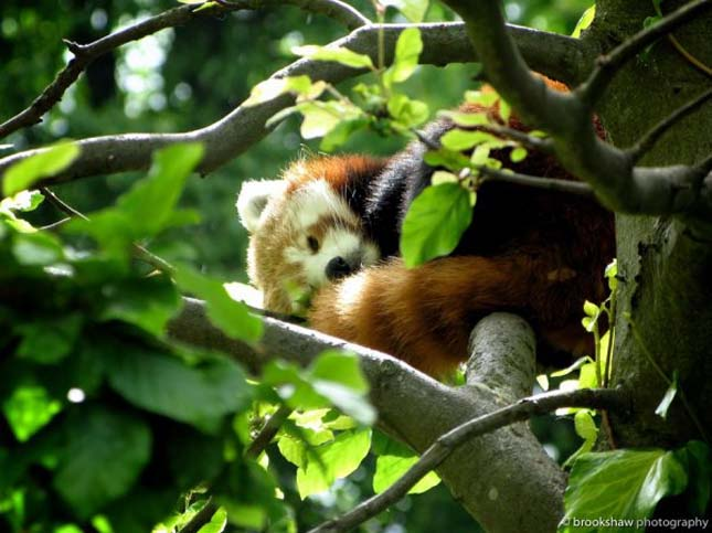 Vörös macskamedve