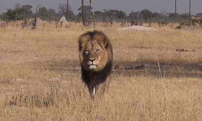 Cecil oroszlán