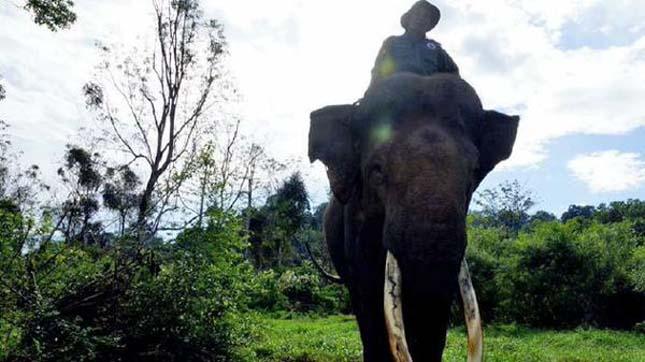 Yongki elefánt