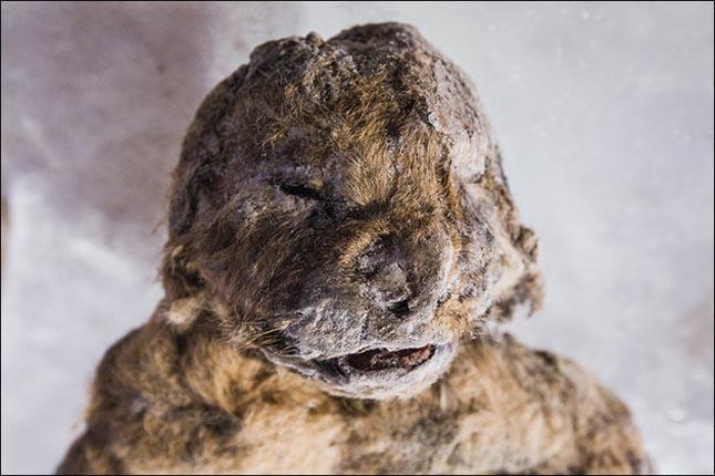 mumifikálódott oroszlánkölykök