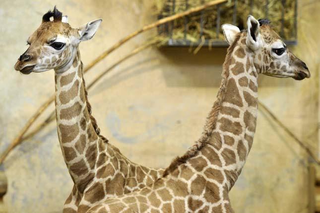 Egy éven belül 3 zsiráf született a budapesti állatkertben