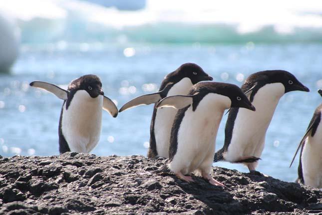 Adélie pingvinek