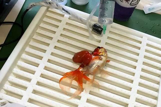 aranyhal műtét