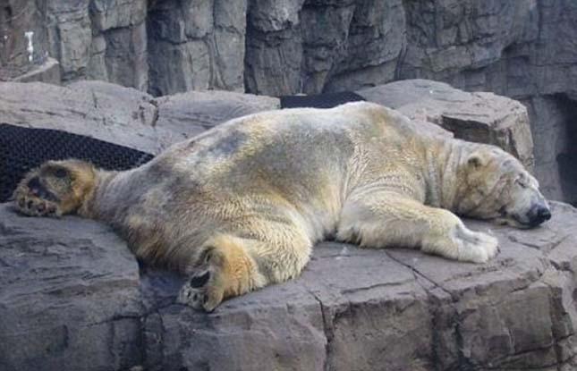 Arturo jegesmedve