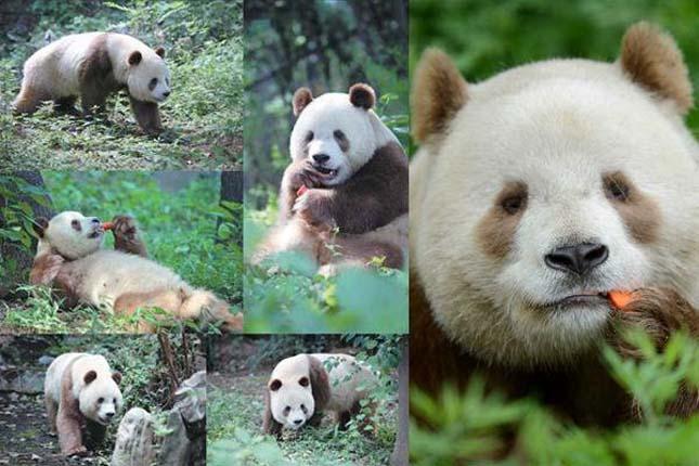 Barna panda