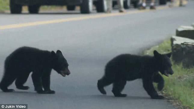 Birkózó medvebocsok