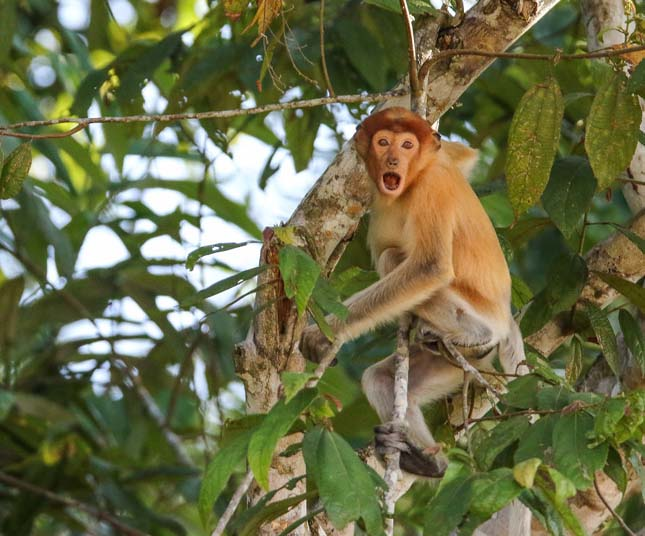 Borneói állatvilág