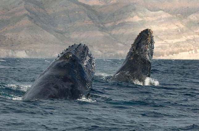 Christopher Swann lenyűgöző fotói bálnákról