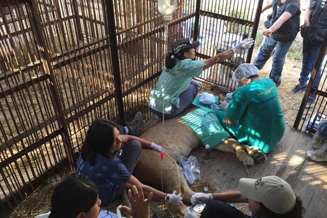 33 cirkuszi oroszlánt szabadítottak ki