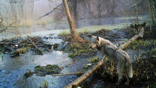 Csernobil állatok