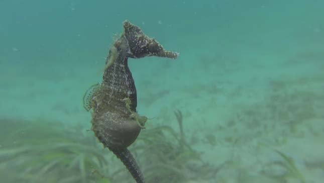Csikóhal szülés