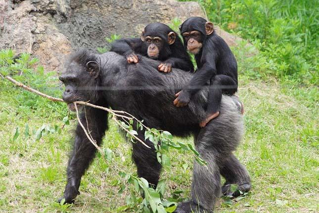A csimpánzok jobban szeretnek együttműködni