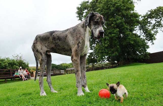 Legnagyobb és legkisebb kutya