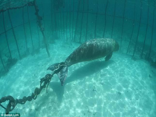 Dugongok ketrecbe zárva