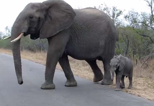 Védelmező elefántmama