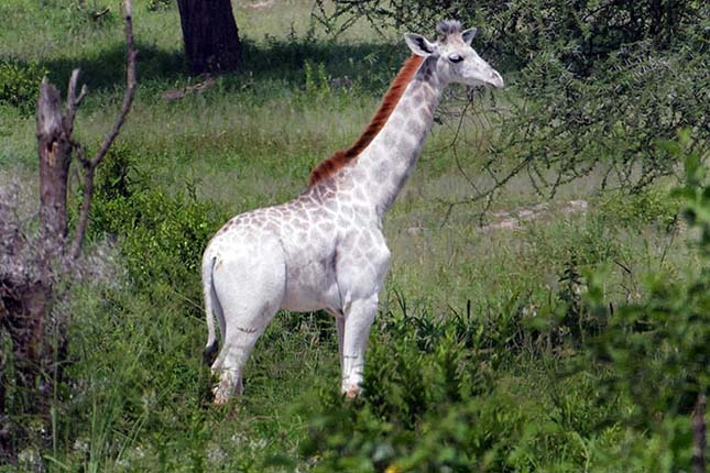 Fehér zsiráf