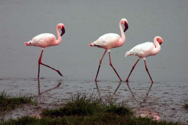 Flamingók tévedtek Szibériába