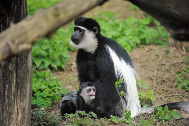 Zászlós farkú gereza született a Nyíregyházi Állatparkban